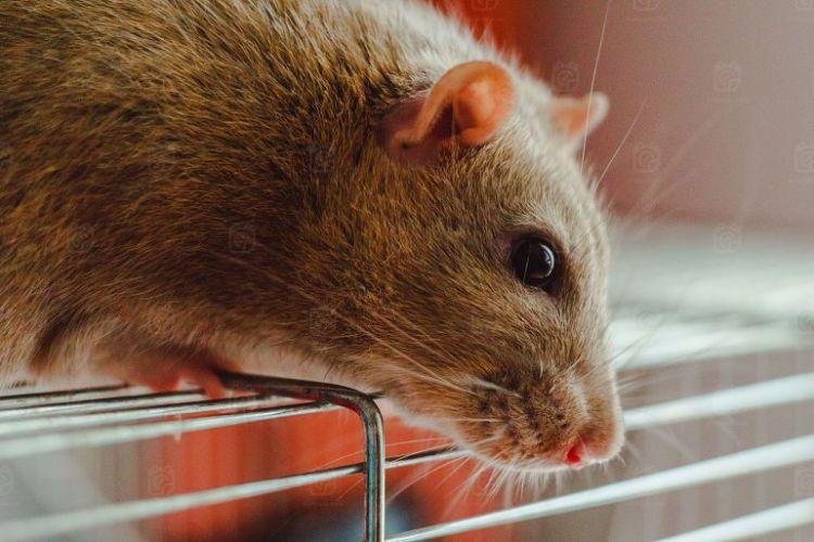 Jenis Tanaman Pengusir Tikus