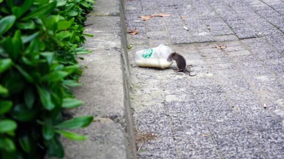 Bahaya Gigitan Tikus bagi Manusia?