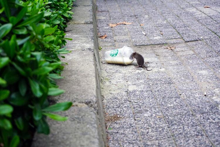 bahaya gigitan tikus