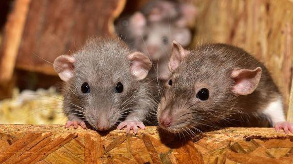 Jasa Basmi Tikus