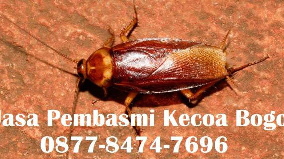 Jasa Pembasmi Kecoa Bogor