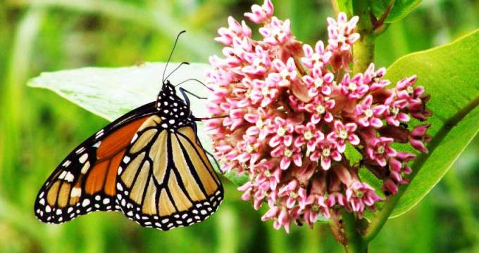 Help the monarch butterflies by planting milkweed in your yard