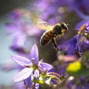Closeup of a western honey bee or European honey bee (Apis mellifera) feeding nectar of purple bellflower Campanula flowers