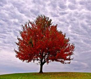 red_tree1