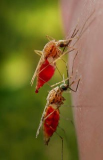 malarial-mosquitoes