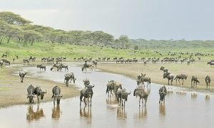 Migrating wildebeest in Serengeti national park, Tanzania.