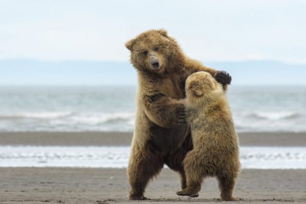 """This mom and cub began to """"dance"""" during their break from perusing for clams."""