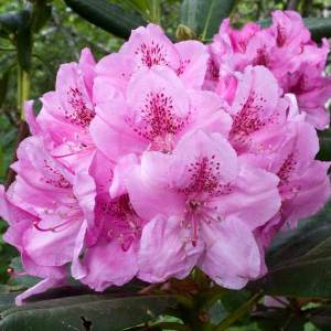rhododendron_flower