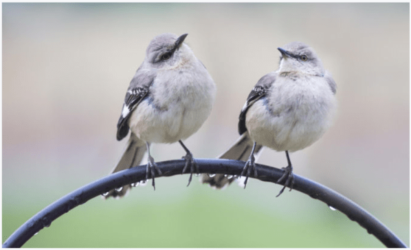 Two_Birds_Mirror_Reflection_Look_Outdoors_Sparrows