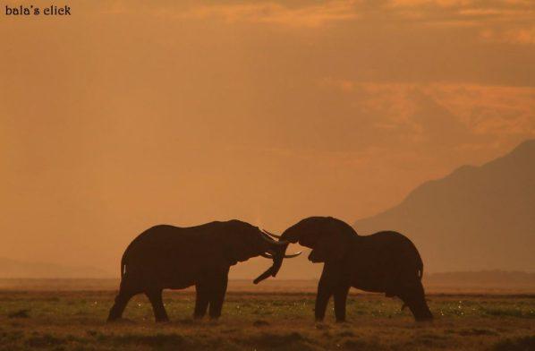african_elephantslock_males_tusk