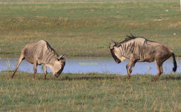 african_safari_animals