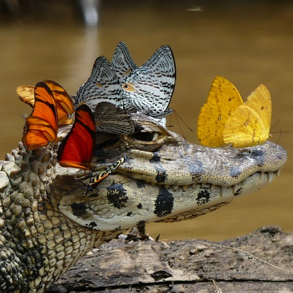 crocodile_alligator_butterfly_florida_animals_award