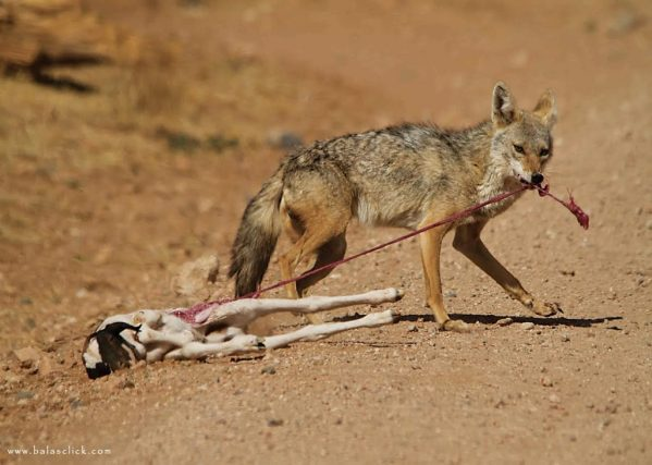 goat_fox_wolf_meat_africa_wild_life_meal_animals_nature