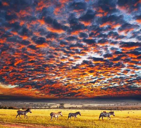 zebras_africa_tanzania_safari_serengeti-national-park