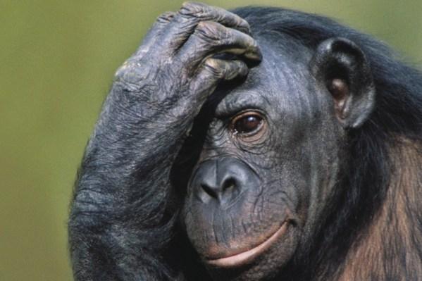 animal_minds_monkey_chimp_beasts