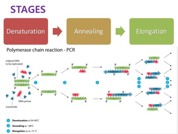 pcr-amp-dystrophin-gene-4-638