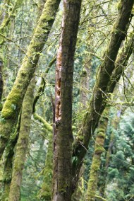 Rectangular holes made by a Pileated Woodpecker
