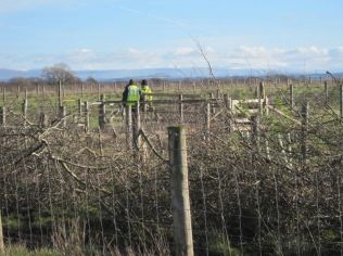 Volunteers trimming and laying a hawthorn hedge