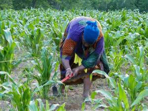 Woman in the field harvesting organic produce at Liberation Farms