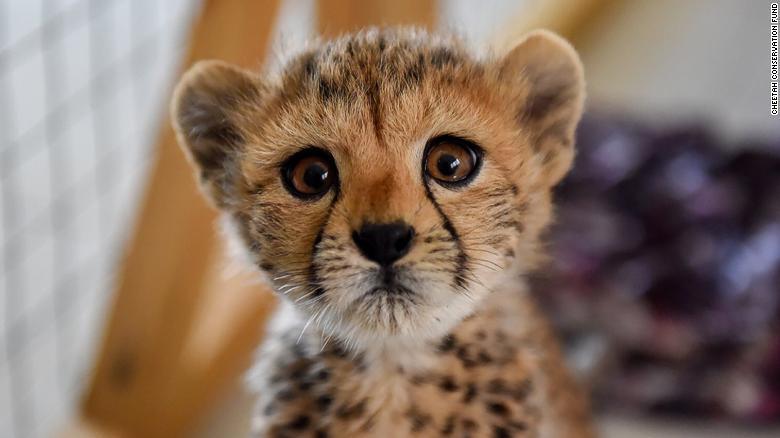 Environ-cheetahs
