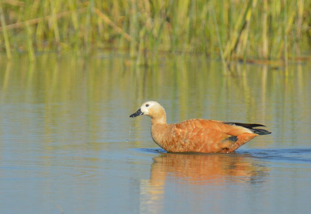 Brahminy Duck
