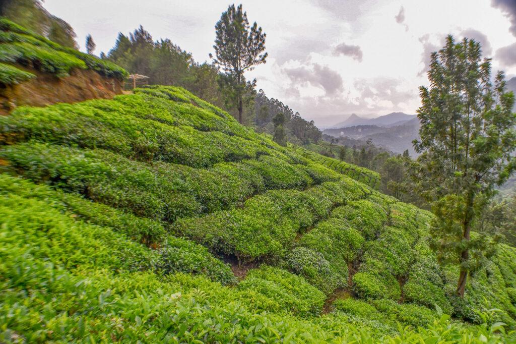 Tea Plantations, Munnar @Rafiq Somani