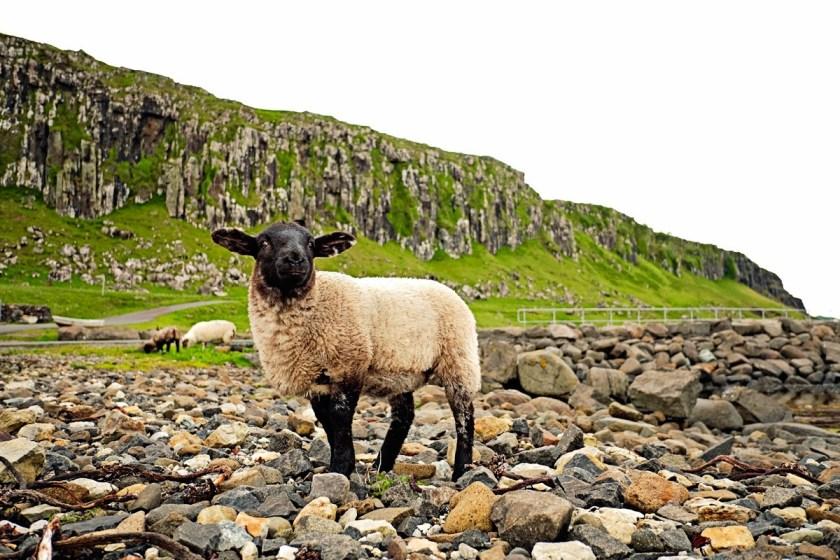Sheep on Beach