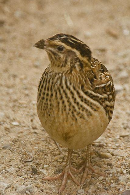 common quail for post Quail your Appetite
