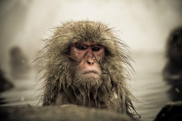 Fotos de macacos da neve