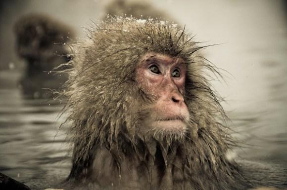 Macaco da neve