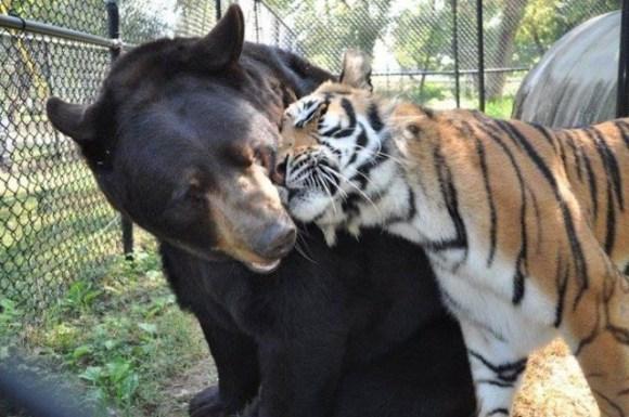 leão tigre urso amigos (5)