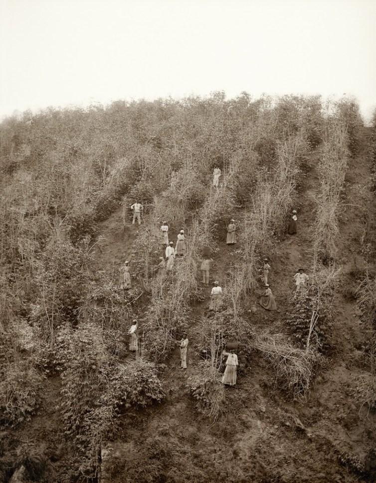 Escravos na colheita de café, Vale do Paraíba, 1882 (Marc Ferrez_Colección Gilberto Ferrez_Acervo Instituto Moreira Salles)