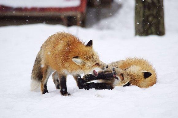 zao-fox-village-japan-4[1]