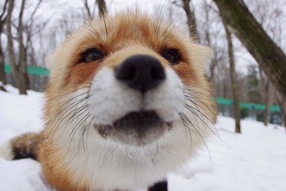 zao-fox-village-japan-5[1]