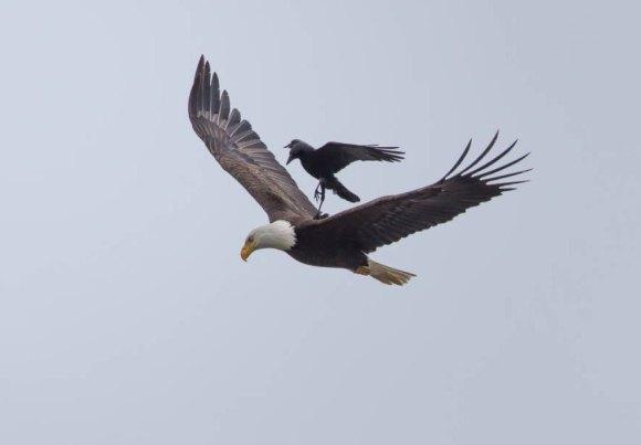 corvo e aguia 3