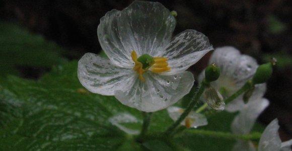 Essas delicadas flores ficam transparentes quando tomam chuva
