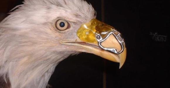 Essa águia foi salva graças ao trabalho heroico de um dentista