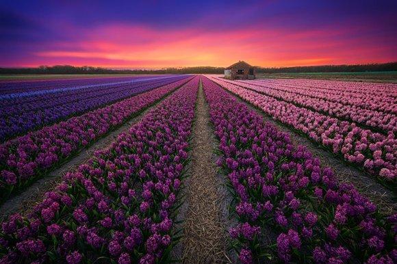 Por do sol e flores da cor do céu: rosa, violeta e roxo