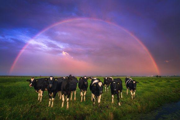 Vacas malhadas em primeiro plano e arco-íris ao fundo