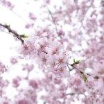 奈良桜の名所「又兵衛桜」へお花見バスツアーへ行って来ました!