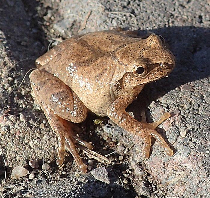 I Found Frog My Backyard