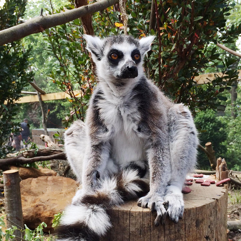 lemuriens-zoo-londres