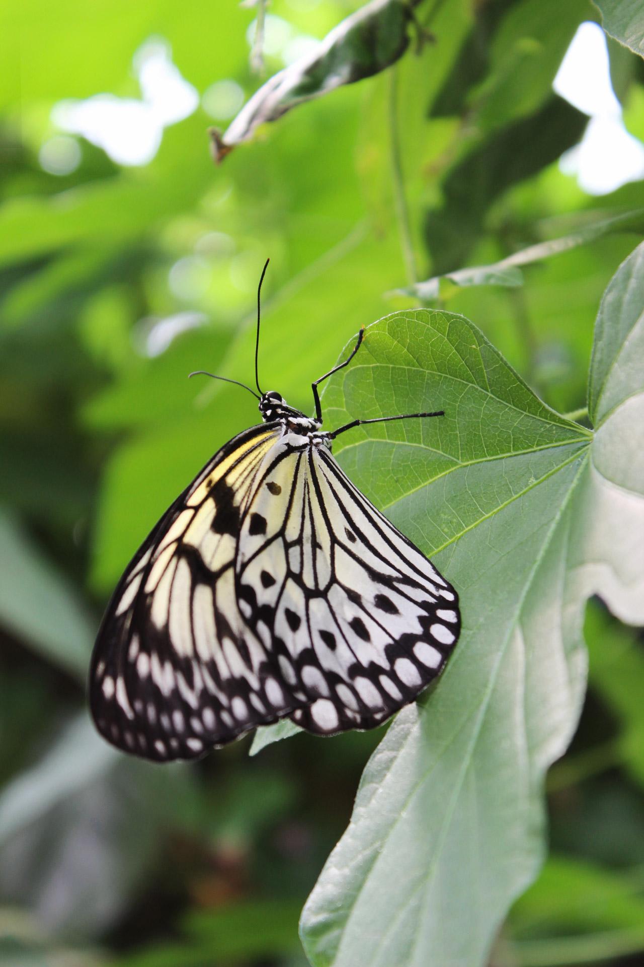 papillon-zsl-londres