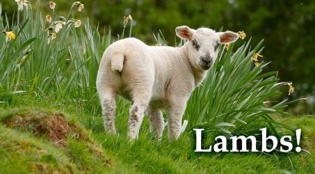 When Good Lambs Go Baa!
