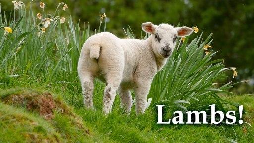 When Good Lambs Go Baa!