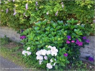 flower: hydrangea