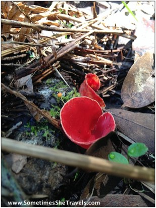 Beautiful red fungus.