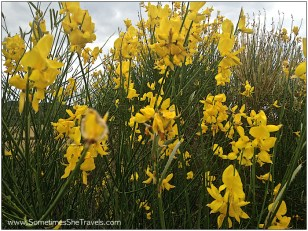 Day 6: Scotch Broom