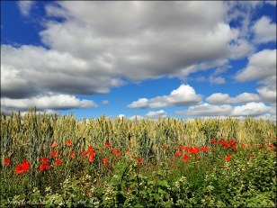 camino de santiago poppies and sky