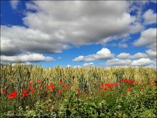 camino de santiago poppies and sky